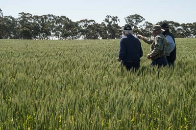 Growers in wheat paddock
